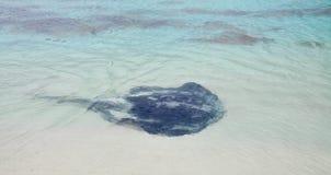 Indian Ocean Sting Ray Stock Photos