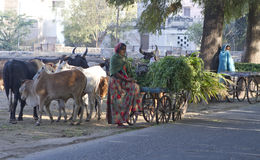 Indian old age woman sailing grass for cows Stock Image