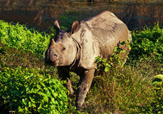 Indian one horned rhinoceros Royalty Free Stock Photo