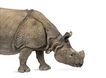 Free Indian One-horned Rhinoceros Stock Image - 44431941