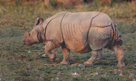 Free Indian One-horned Rhinoceros Stock Photography - 48356652