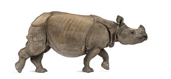Indian one-horned rhinoceros Stock Photos