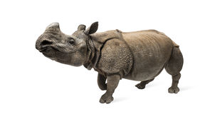 Indian one-horned rhinoceros Stock Photography