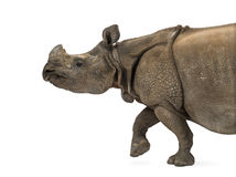 Indian one-horned rhinoceros Stock Images