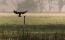 Indian Oriental Darter Anhinga melanogaster stock image