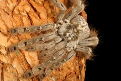 Indian Ornamental Tarantula. (Poecilotheria regalis). A fast, arboreal tarantula that has very beautiful markings Stock Photos
