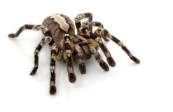 Indian Ornamental Tarantula Royalty Free Stock Images