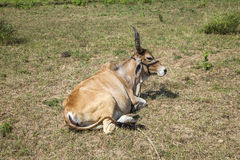 Indian ox on a meadow Royalty Free Stock Photos