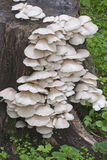 Indian oyster mushrooms Stock Photo