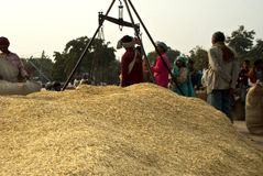 Indian paddy market. Heap of paddy in the market Royalty Free Stock Image