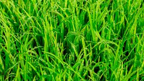 Indian paddy seed& x28;rice seed& x29; with dew.larger depth of field. Rice is the seed of the grass species Oryza sativa& x28;Asian rice& x29 stock image