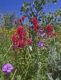 Indian Paint Brush Aspen Sticky Geranium flowers Stock Photos
