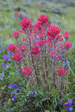 Indian Paint Brush and vetch plant. Royalty Free Stock Images
