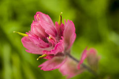 Indian paintbrush. In full bloom on forest floor in the mountains Stock Photo