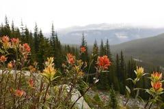Indian Paintbrush - Banff National Park, Canada Stock Images