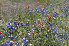 Indian Paintbrush and Bluebonnet Wildflowers Stock Image