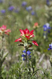 Indian Paintbrush and Bluebonnet Wildflowers Stock Photos