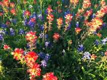 Indian Paintbrush and bluebonnets Royalty Free Stock Image