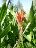Indian Paintbrush. A close up of a native flower around the Donner Pass Stock Images