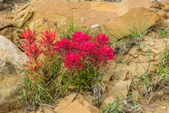Indian Paintbrush. Cluster Of Indian Paintbrush Growing Among Sandstone Rocks Along Cottonwood Road, Grand Staircase-Esclante National Monument, Utah Royalty Free Stock Photos