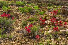 Indian Paintbrush. Clusters Of Indian Paintbrush Growing Among Sandstone Boulders Along Cottonwood Road, Grand Staircase-Esclante National Monument, Utah Royalty Free Stock Photography
