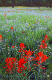 Indian Paintbrush, Coconino National Forest, AZ. Late summer wildflowers bloom profusely in the high country near Flagstaff, AZ Stock Image