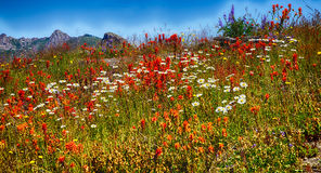 Indian paintbrush covers the Meadows Stock Photos