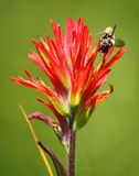 Indian Paintbrush Flower and Bee. Close up of Indian Paintbrush Flower with a bee on it royalty free stock photo
