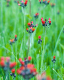 Indian Paintbrush flower Stock Images