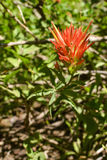 Indian Paintbrush flower Royalty Free Stock Photography