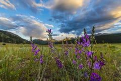 Indian Paintbrush flowers Colorado Landscape Royalty Free Stock Images