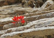 Indian Paintbrush Royalty Free Stock Image