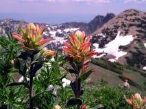 indian paintbrush hybrid wildflower Stock Photo