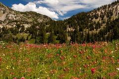 Indian paintbrush landscape. Image of a field of wildflowers in the mountains of Utah Stock Photos