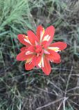 Indian Paintbrush Flower Stock Photo