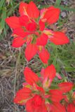 Indian Paintbrush Stock Photo
