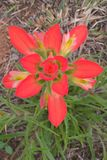 Indian Paintbrush Royalty Free Stock Photos