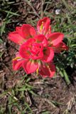 Indian Paintbrush Stock Photos