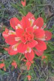 Indian Paintbrush Royalty Free Stock Images
