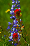 Indian Paintbrush and Lupine. Wildflowers in background Royalty Free Stock Photography