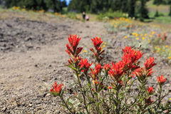 Indian Paintbrush. An Indian paintbrush plant sits by the side of the Cone Peak Trail in the Oregon Cascade mountains royalty free stock photos