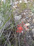 Indian paintbrush rocky soil royalty free stock images