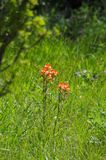 Indian paintbrush at San Antonio Botanical Garden. Indian paintbrush genus Castilleja at San Antonio Botanical Garden. Another wildflower that blooms in the royalty free stock photography