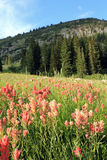 Indian Paintbrush Stock Photography
