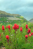 Indian paintbrush in the Wasatch Mountains. Stock Image
