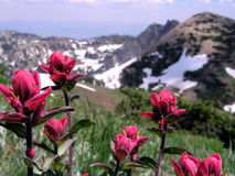 indian paintbrush wildflower Stock Images