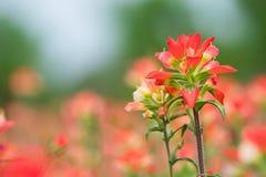 Indian Paintbrush wildflower closeup Stock Photos