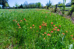 Indian Paintbrush Wildflowers near a Fence in Texas. Royalty Free Stock Image