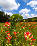 Indian paintbrushes. Meadow with wildflowers in Spring in Central Texas Royalty Free Stock Photography