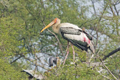 Indian painted storks Royalty Free Stock Images